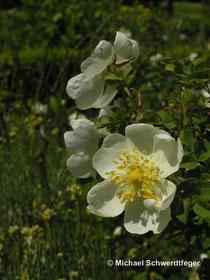 Rosa pimpinellifolia (R. spinosissima)