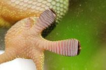 Die Pfoten des Grossen Madagaskar Taggeckos (Phelsuma grandis) mit den Haftlamellen