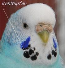 Halbstandardweibchen Klara (Farbschlag: normal blau)