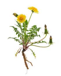 Bild: Pflanzenheilkunde - Simone Schafitel Heilpraktikerin