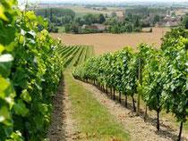 wijngaarden, wijn, Saint Pourçain