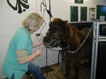 Zahnbehandlung bei einem Shetland-Pony