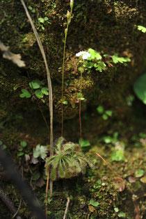 こう見えて食虫植物のコモウセンゴケ