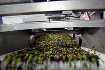 Oliven auf dem Weg zum Olivenöl.