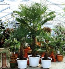 kleine Palmen