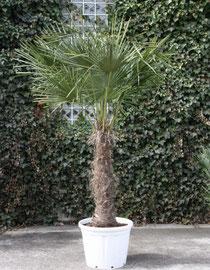 mittelgroße Palmen