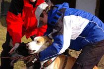 Alaskan Husky wird eingespannt