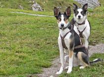 Alaskan Husky, Dogscooting, Zughundesport