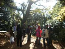 神社内にあるシラカシの大木