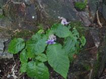 イワタバコ(Conandron ramondioides)