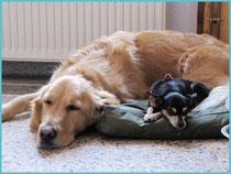 golden retriever et pinscher nain qui dorment