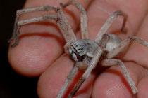 Araignée saharienne du genre Cerbalus
