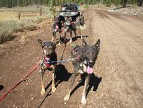 Alaskan Huskies on a training run with ATV