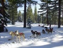 A team of Alaskan Huskies