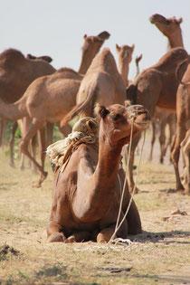 Kamel-Safari in Bikaner