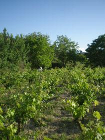 Cuidando la viña