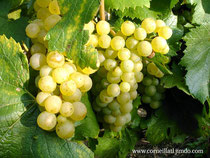 Ripening of chardonnay grapes
