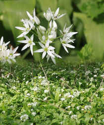 Bären-Lauch (Allium ursinum)