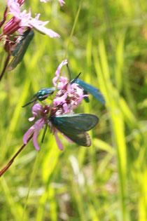 Grün-Widderchen auf Blüten der Kuckucks-Lichtnelke