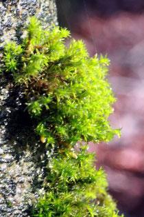 Verwandtes Goldhaarmoos (Orthotrichum affine)