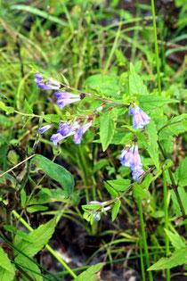 Sumpf-Helmkraut (Scutellaria galericulata) - feuchter Waldwegrand