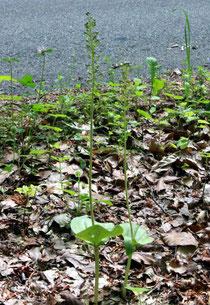Listera ovata (Großes Zweiblatt)