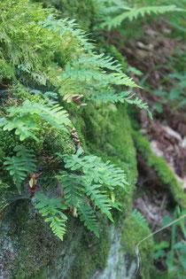 Gewöhnlicher Tüpfelfarn (Polypodium vulgare) auf Felsgestein