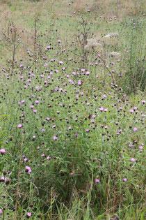 Hain-Flockenblume (Centaurea nigra ssp. nemoralis) - im Maisenbachtal