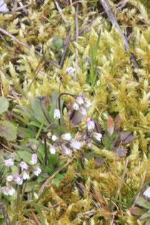 Hungerblümchen (Erophila verna)
