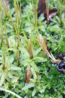 Gewelltblättriges Kriechsternmoos (Plagiomnium undulatum)