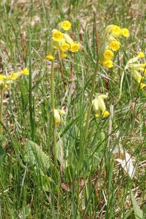 Wiesen-Schlüsselblume (Primula veris) Anfang Apr. 2011