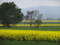 Only redeeming factor of the ride- fields upon fields of these yellow flowers