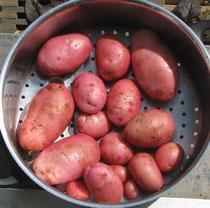 Viele Verschiedene Sorten Kartoffeln Kleingärtnerverein Hennef