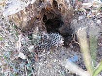 掘りだしたスズメバチの巣