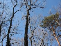 立木に絡んだつる