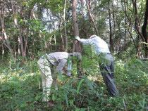 立ち枯れ木の処理