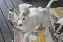 Lappland Dream Siberian Husky valp OILY