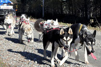 Hundeträning in Lappland