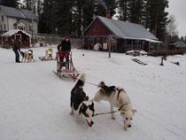 Huskytraining in Lappland