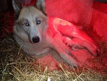 Siberian Husky Welpen auf der Huskyfarm Lapplands Drag