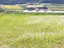 桜井市笠地区 蕎麦畑
