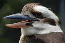 Kookaburra - Lachender Hans