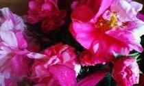 真の日本料理「美菜ガルテンふるかわ」きみこの大好きなバラ・庭に咲いたロサ ムンディ