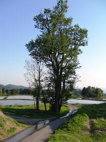 UNE田んぼの途中にある高清水の木