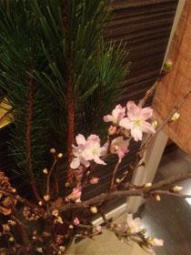 玄関の寒桜と松 薄ピンクにうっとり。