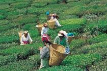 Les femmes cueilleuses de thés remplissent leur hotte en osier.