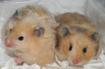 Сирийские лисички-сестрички