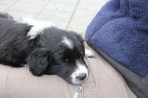 Ariki als Schoßhund ;-)