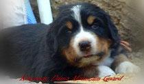бернский зенненхунд щенки продажа  Bernese Mountain Dog puppies for sale