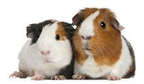 info kurs meerschweinchen
